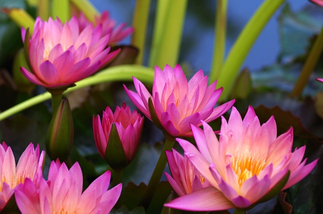 water-lilies-440622_640