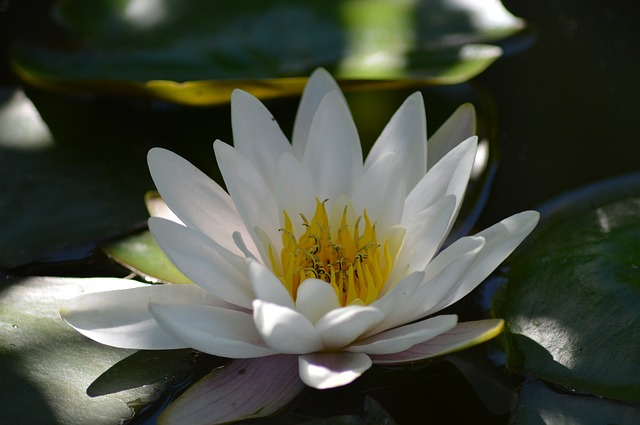 water-lily-140727_640